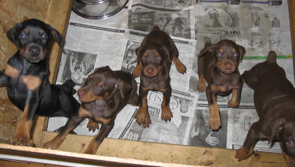 Warlock Doberman Puppies – images free download
